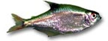 Mojarra cola de fuego - Hyphessobrycon anisitsi
