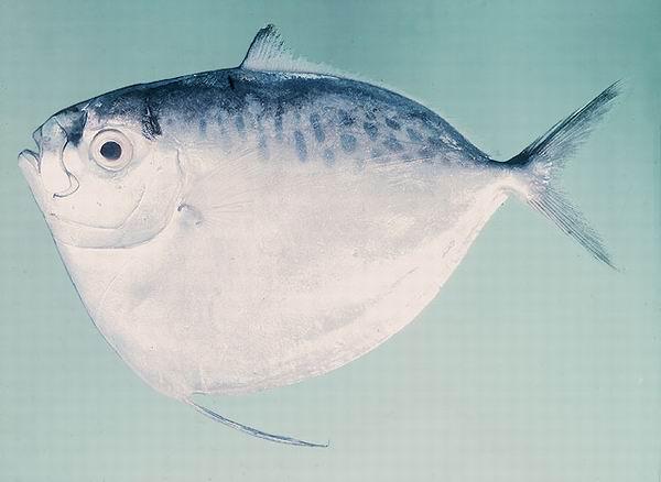 Moonfish (Mene Maculata) Pez Luna