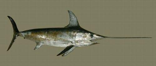 Swordfish - Pez Espada
